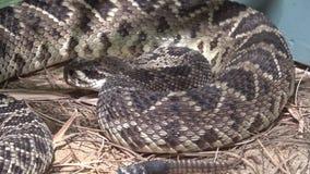 东部菱纹背响尾蛇响尾蛇响尾蛇adamanteus 影视素材