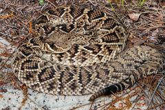 东部菱纹背响尾蛇响尾蛇响尾蛇adamenteus 库存图片