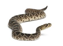 东部菱纹背响尾蛇响尾蛇-响尾蛇adamanteus, poisonou 库存照片