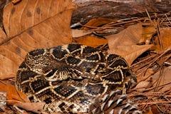 东部菱纹背响尾蛇响尾蛇 库存照片