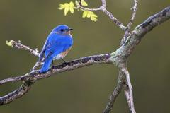 东部蓝鸫北美产蓝知更鸟泥蛉类在树枝栖息 免版税图库摄影
