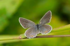 东部被盯梢的蓝色蝴蝶 免版税图库摄影