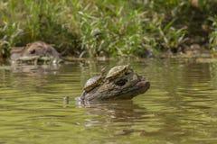 东部被绘的乌龟 库存照片