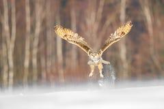 东部西伯利亚欧洲产之大雕飞行在冬天 从飞行在多雪的领域的俄罗斯的美丽的猫头鹰 与庄严罕见的ow的冬天场面 免版税图库摄影