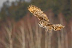 东部西伯利亚欧洲产之大雕飞行在冬天 从飞行在多雪的领域的俄罗斯的美丽的猫头鹰 与庄严罕见的ow的冬天场面 免版税库存图片