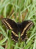 东部黑Swallowtai蝴蝶在露水被盖的草下来 免版税库存图片