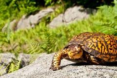 东部龟盒 库存图片
