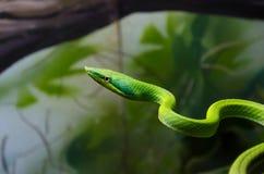 东部绿眼镜蛇 免版税库存图片