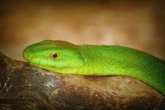 东部绿眼镜蛇 库存图片