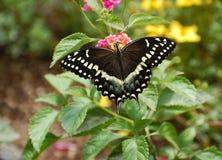 东部黑色Swallowtail蝴蝶 库存照片