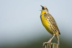 东部meadowlark唱歌 免版税库存照片