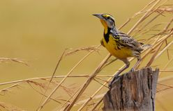 东部Meadowlark雀形目鸟优秀大学毕业生 库存照片