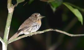 东部Meadowlark雀形目鸟优秀大学毕业生 库存图片