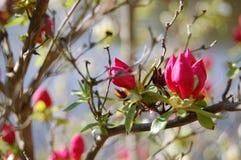 东部Redbud树芽在春天 库存图片