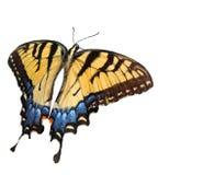东部swallowtail老虎 免版税库存图片