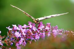 东部swallowtail老虎 图库摄影