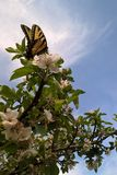 东部swallowtail老虎 免版税库存照片