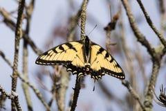 东部swallowtail老虎 库存图片