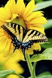 东部Swallowtail蝴蝶在黄色向日葵绽放工作。 库存照片