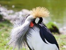 东非加冠了起重机找到某事在他的全身羽毛 免版税库存照片