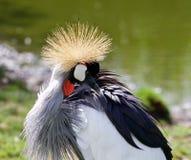 东非加冠了起重机看他的羽毛 免版税库存图片