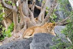 东非幼狮豹属在一个岩石的利奥melanochaita在树中 免版税库存图片
