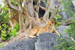 东非幼狮豹属在一个岩石的利奥melanochaita在树中 库存照片