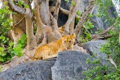 东非幼狮豹属在一个岩石的利奥melanochaita在树中 库存图片