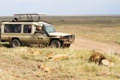 东非狮子家庭和徒步旅行队汽车 免版税库存照片