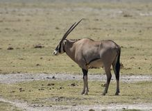 东非羚羊属,大羚羊,羚羊属beisa 库存照片
