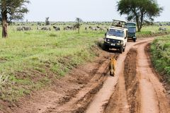 东非雌狮和游人徒步旅行队汽车的 免版税库存图片