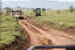 东非雌狮和游人徒步旅行队汽车的 免版税库存照片