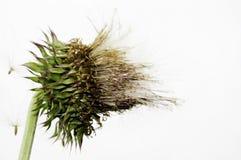东非香草marianum,乳蓟, 免版税库存图片