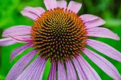 东紫色Coneflower 库存图片