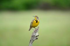 东Meadowlark 免版税库存图片