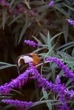东Spinebill -澳大利亚Honeyeater 库存照片