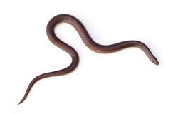东Wormsnake 免版税库存图片