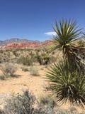 丝兰厂在莫哈维沙漠,红色岩石峡谷 免版税库存图片