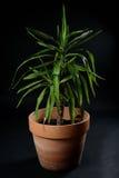 丝兰在罐的棕榈树 免版税图库摄影