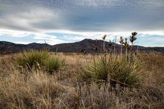 丝兰植物在冬天 免版税库存照片
