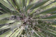 丝兰类型西南植物 库存照片