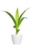 丝兰年轻新芽一棵盆的植物被隔绝在白色 免版税库存照片