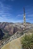 丝兰harrimaniae -西班牙刺刀-在锡安国家公园 库存照片
