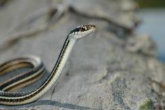 丝带蛇 免版税库存图片