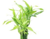 丝带龙血树属植物,幸运的竹子,比利时常青树,丝带植物p 免版税图库摄影