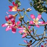 丝绸绣花丝绒结构树, Chorisia Speciosa的花。 库存照片