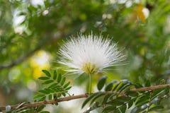 丝绸植物 免版税库存照片