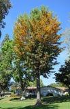 丝绸橡树或Grevillea饱满在拉古纳森林, Caifornia 免版税库存图片