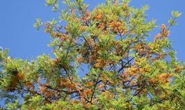 丝绸橡树或Grevillea饱满在拉古纳森林, Caifornia 库存图片