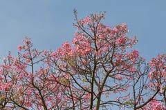 从丝绸绣花丝绒树的桃红色花反对在秋天期间的蓝天 库存照片